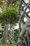 Tropical tree of the ficus microcarpa family with an unusually twisted trunk royalty free stock photo