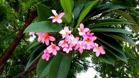 Tropical tree flower. Frangipani Exotic flowers Royalty Free Stock Photography