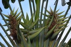 A tropical tree Stock Photos