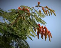 Tropical tree. Royalty Free Stock Photography