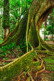 Tropical tree in the forest Stock Photography