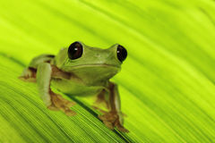 Tropical tree frog Stock Image