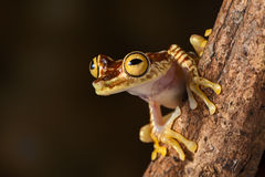 Tropical tree frog. Tree frog hypsiboas picturata Amazon rain forest treefrog of Colombia and Ecuador jungle, exotic animal lives nocturnal Royalty Free Stock Image