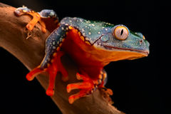 Tropical tree frog Amazon rain forest Royalty Free Stock Image