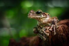 Tree frog Amazon rain forest, tropical exotic treefrog Osteocephalus taurinus. Beautiful animal with amazing eyes royalty free stock photo