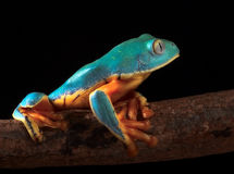 Tropical tree frog climbing stock photos