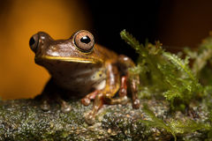 Tropical tree frog Royalty Free Stock Photography