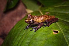 Tropical tree frog Hypsiboas geographicus, an exotic amphibian animal royalty free stock image