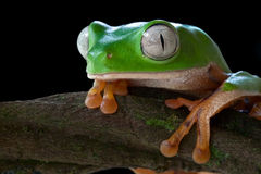 Tropical tree frog jungle green amphibian big eyes Stock Photography