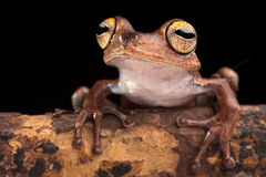 Tropical tree frog at night. Tropical tree frog with big eyes on branch in Amazon rain forest. Exotic jungle animal macro. This amphibian Hypsiboas calcaratus at Royalty Free Stock Images