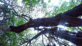 Tropical tree in India. Old tropical tree. Arambol Goa India stock video