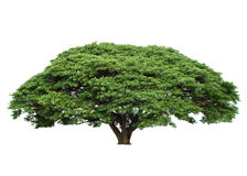 Tropical Tree Royalty Free Stock Photography
