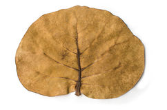 Tropical tree leaf. On white background Stock Images
