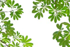 Tropical tree leaves with branches on white isolated background for green foliage backdrop. Tropical tree leaves branches white isolated background green foliage royalty free stock photos