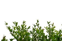 Tropical tree leaves with branches on white isolated background for green foliage backdrop. Tropical tree leaves branches white isolated background green foliage royalty free stock images