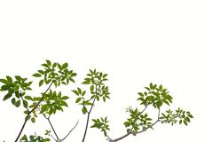 Tropical tree leaves on white isolated for green foliage backdrop. Tropical tree leaves branches white isolated background green foliage backdrop agriculture royalty free stock images