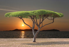 Tropical tree of mushroom shaped near the sea in sunset. Stock Photo