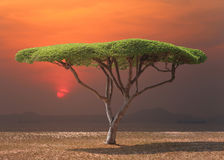 Tropical tree of mushroom shaped near the sea in sunset. Royalty Free Stock Image