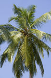 Tropical tree a palm tree green against the background of the blue sky Stock Photography