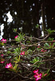 Tropical tree pink flowers and tangled branches background stock photo