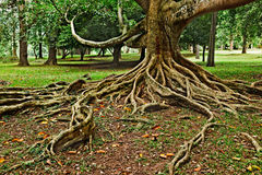 Tropical tree roots. Sri Lanka Royalty Free Stock Photos
