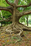 Tropical tree roots Stock Image