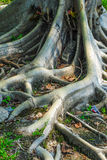 Tropical tree roots. Stock Photography