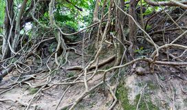 Tropical tree roots. Stock Photo