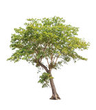 Tropical tree in Thailand isolated on white background Royalty Free Stock Photos