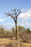 Tropical tree with thorns on the trunk, Madagascar Stock Image