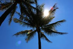 Tropical tree. With sunshine flea Royalty Free Stock Images