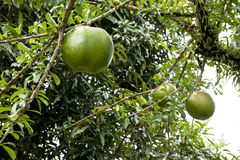Tropical tree with uneatable fruits. The uneatable fruits of this tropical tree are used by the local people for carving out and take as a vessel Royalty Free Stock Photos