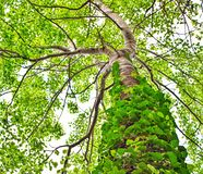 tropical tree with vines growing up trunk from low angle royalty free stock photos