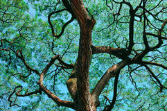 Tropical Tree Waimea Valley, Oahu Royalty Free Stock Images