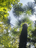 Tropical tree wiew from below Royalty Free Stock Photography