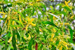 Tropical tree with yellow flowers stock image