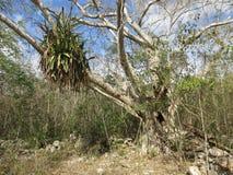 Tropical Tree in Yucatan Mexico Stock Photos