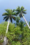 Tropical Trees. Against blue sky Stock Images