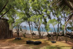 Tropical trees, Barbados. Tropical trees near the ocean, during wind. Barbados Stock Photos