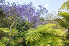 Tropical Trees and blooming Jacaranda Tree Royalty Free Stock Images