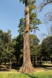 Tropical trees in Chapultepec Park. Tropical vegetation and trees in Chapultepec park in Mexico city,CDMX. Federal District. Ahuehuete Royalty Free Stock Photo