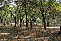 Tropical trees in Chapultepec Park. Tropical vegetation and trees in Chapultepec park in Mexico city,CDMX. Federal District. Ahuehuete Stock Photos