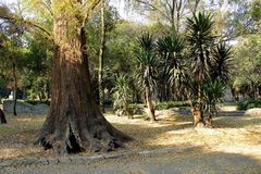 Tropical trees in Chapultepec Park. Tropical vegetation and trees in Chapultepec park in Mexico city,CDMX. Federal District. Ahuehuete Stock Photo