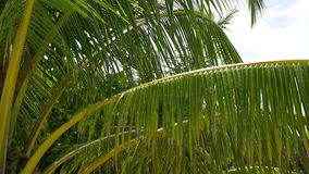 Tropical trees on the coast. Branch of a palm tree. PHANGAN, THAILAND.Tropical trees on the coast. Branch of a palm tree stock video