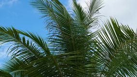 Tropical trees on the coast. Branch of a palm tree. PHANGAN, THAILAND.Tropical trees on the coast. Branch of a palm tree stock video footage