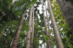Tropical trees. Tropical tall trees in Cairns, Australia Royalty Free Stock Photos