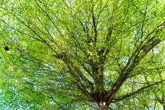 Tropical treetop (Terminalia ivoriensis A. Chev. in science name) Stock Photography