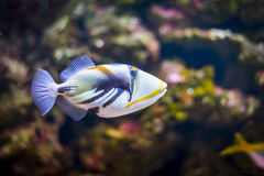 Tropical triggerfish in aquarium. Balistidae Royalty Free Stock Photo