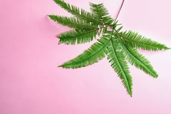 Tropical Umbrella Fern leaves. On color background, top view Stock Photo