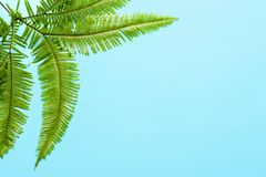 Tropical Umbrella Fern leaves on color background. Top view Stock Image